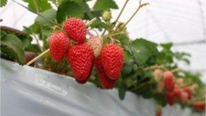 【苺ファームべりふる】広島市内にあるイチゴ狩り観光農園の場所と料金について